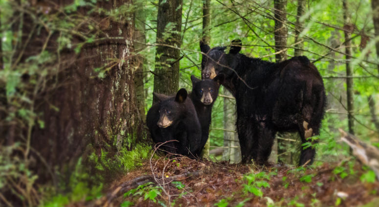 Black Bear in Cades Cove in Great Smokey Mountain National Park