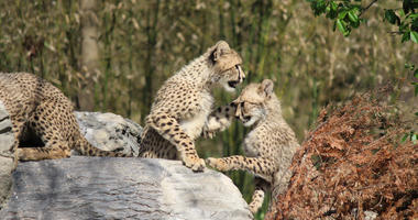 The St. Louis Zoo has a litter of eight cheetah siblings