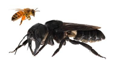 One of the first images of a living Wallace's giant bee. Megachile plutois the world's largest bee, which is approximately four times larger than a European honeybee. © Clay Bolt : claybolt.com
