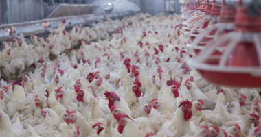 Live chicken for meat and egg production inside a storage.