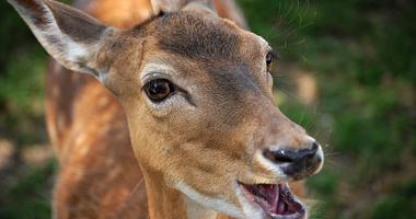 Deer with mouth open