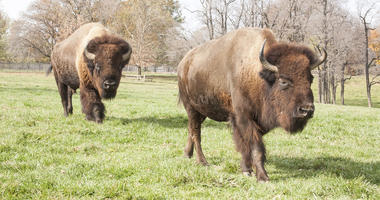 Image of Bison at Grant's Farm
