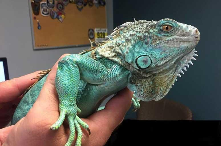 iguana used in restaurant attack