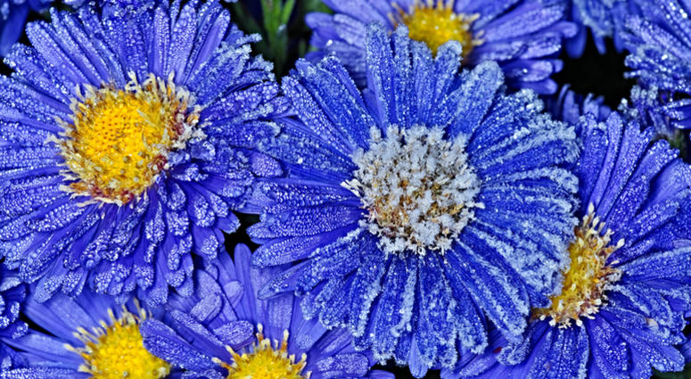 asters with frost
