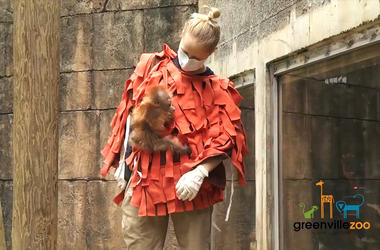 Zoo Staff Dress Up as Orangutan to Take Care of Newborn While Mom Recovers