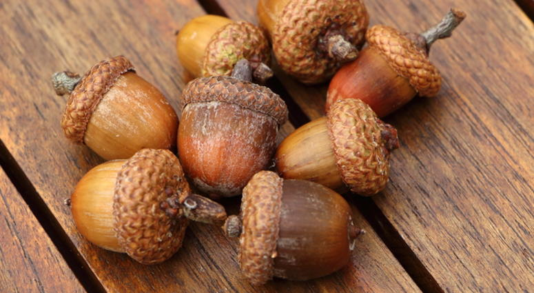 masting why acorns are fallings from trees at a higher than usual