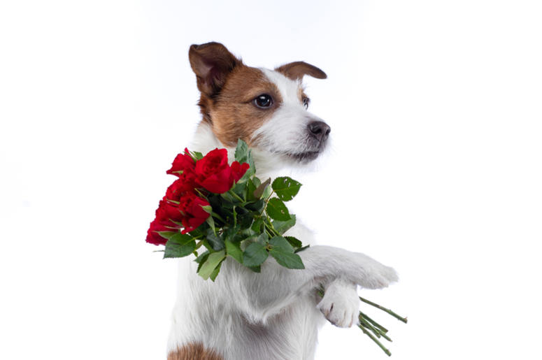Valentine`s Day dog