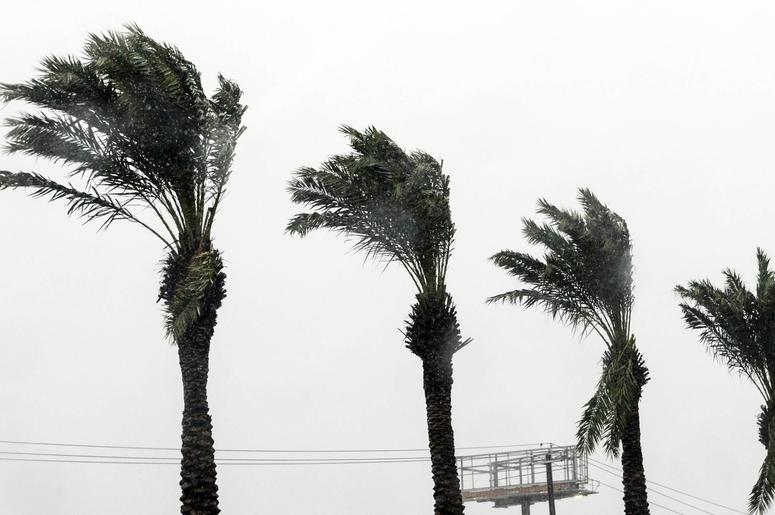 alm fronds bend in the wind as Hurricane Michael approaches.