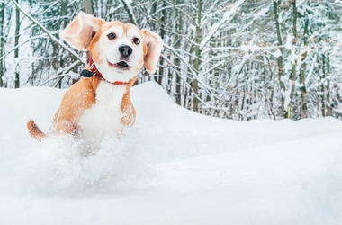 Active beagle dog running in deep snow. Winter walks with pets concept image