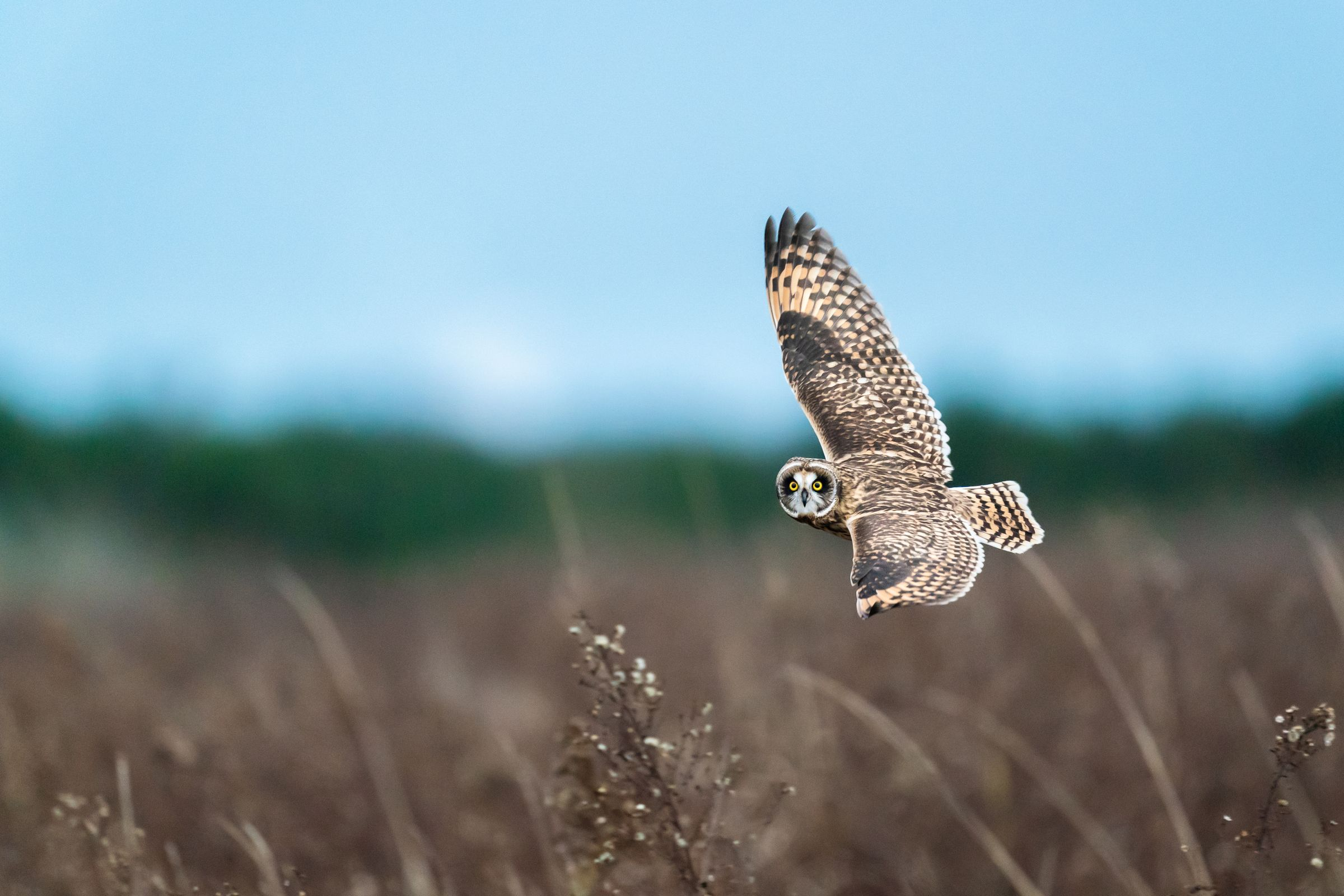 Short eared owl in flight