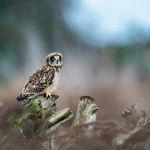 Short eared owl perch