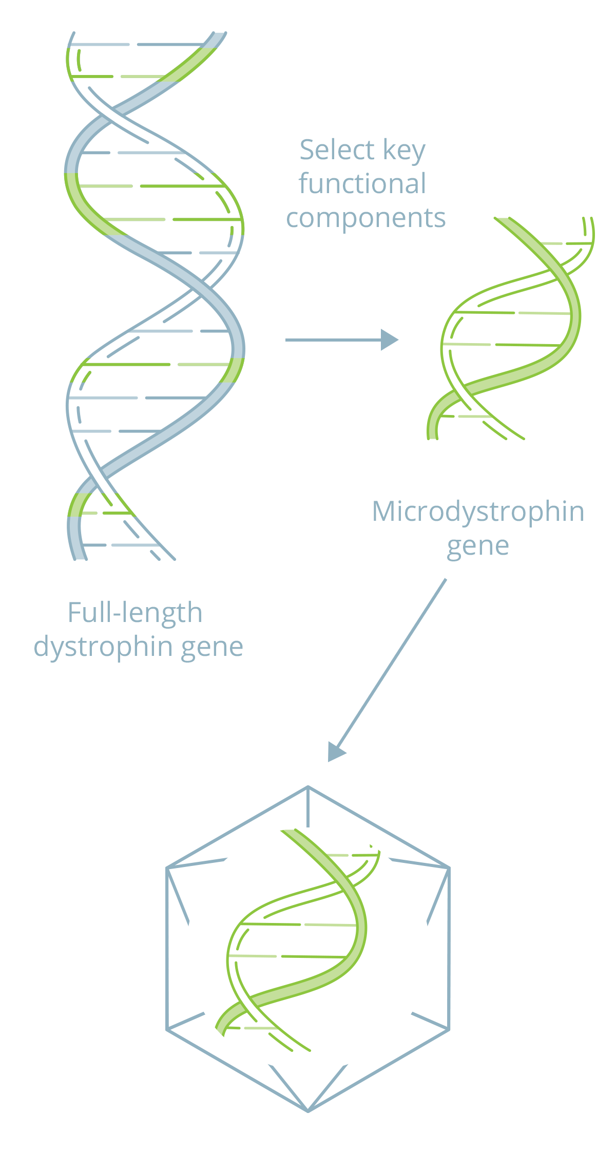 Diagram/alternate image for video of Microdystrophin.