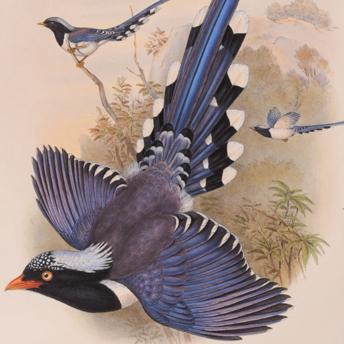 Gould - Birds of Asia