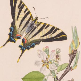 Curtis - British Entomology