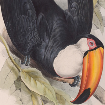 Gould Toucan