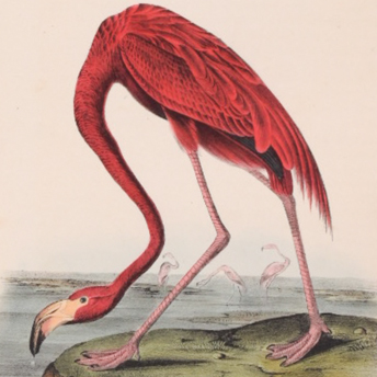 Audubon - First Edition