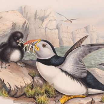 Gould - Birds of Great Britain
