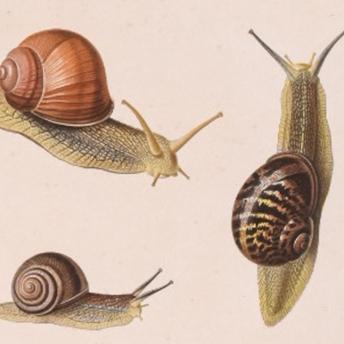 Ferussac - Mollusques