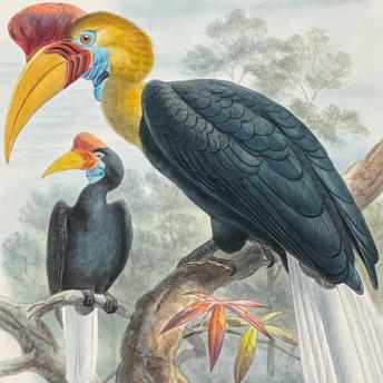 Elliot - Hornbills
