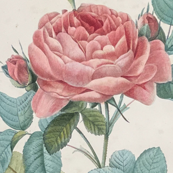 Redoute - Les Roses Folio