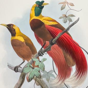 Elliot - Birds of Paradise