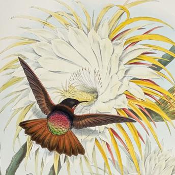 Gould - Hummingbirds