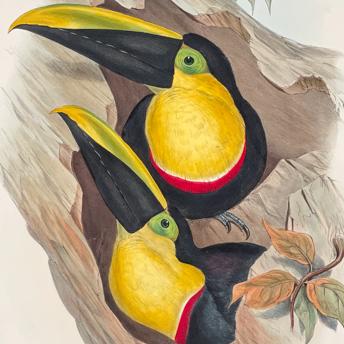 Gould Toucans