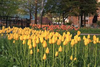 centennial park 10th and central ave - Tulip Garden Near Me