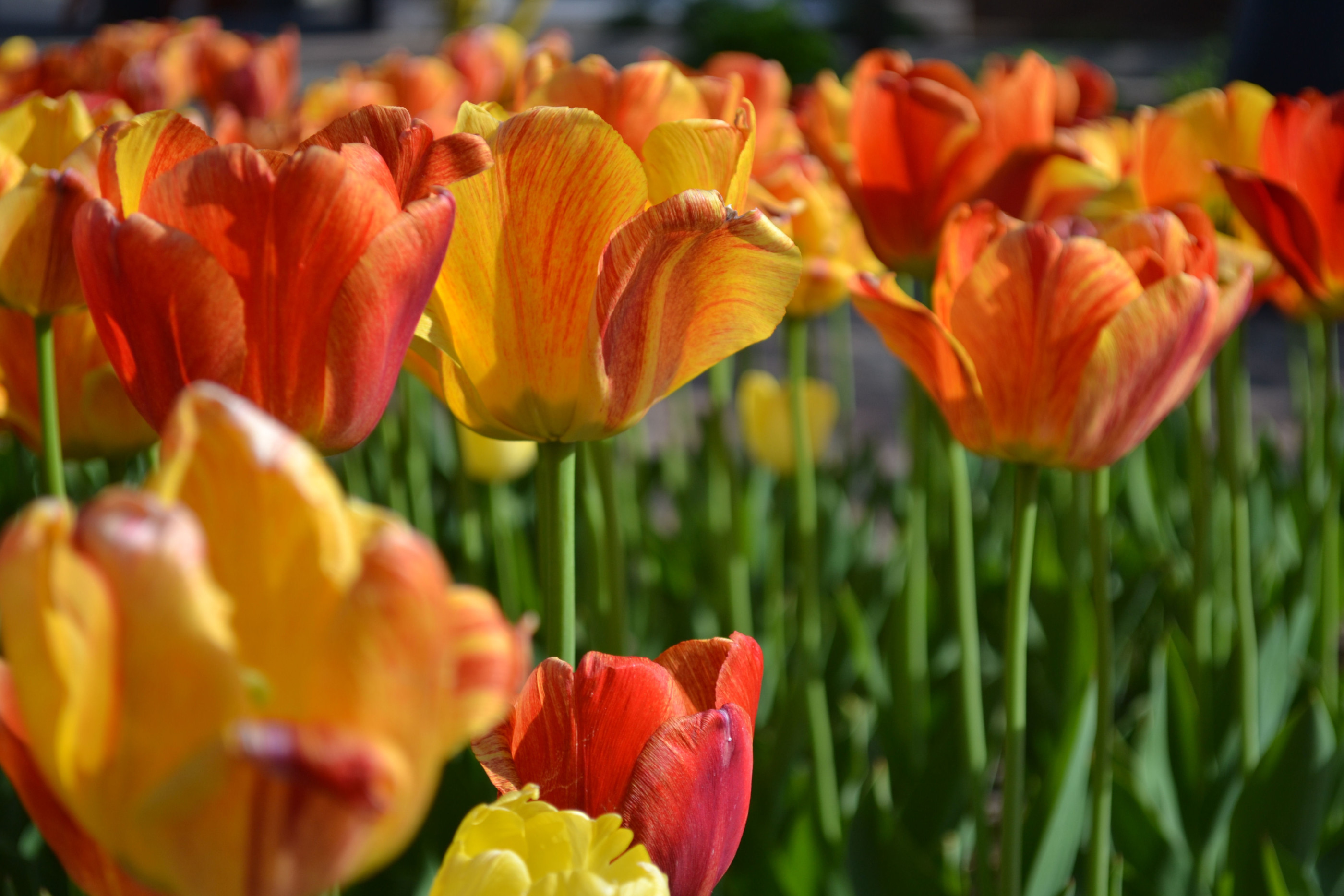 A patch of orange tulips in bloom