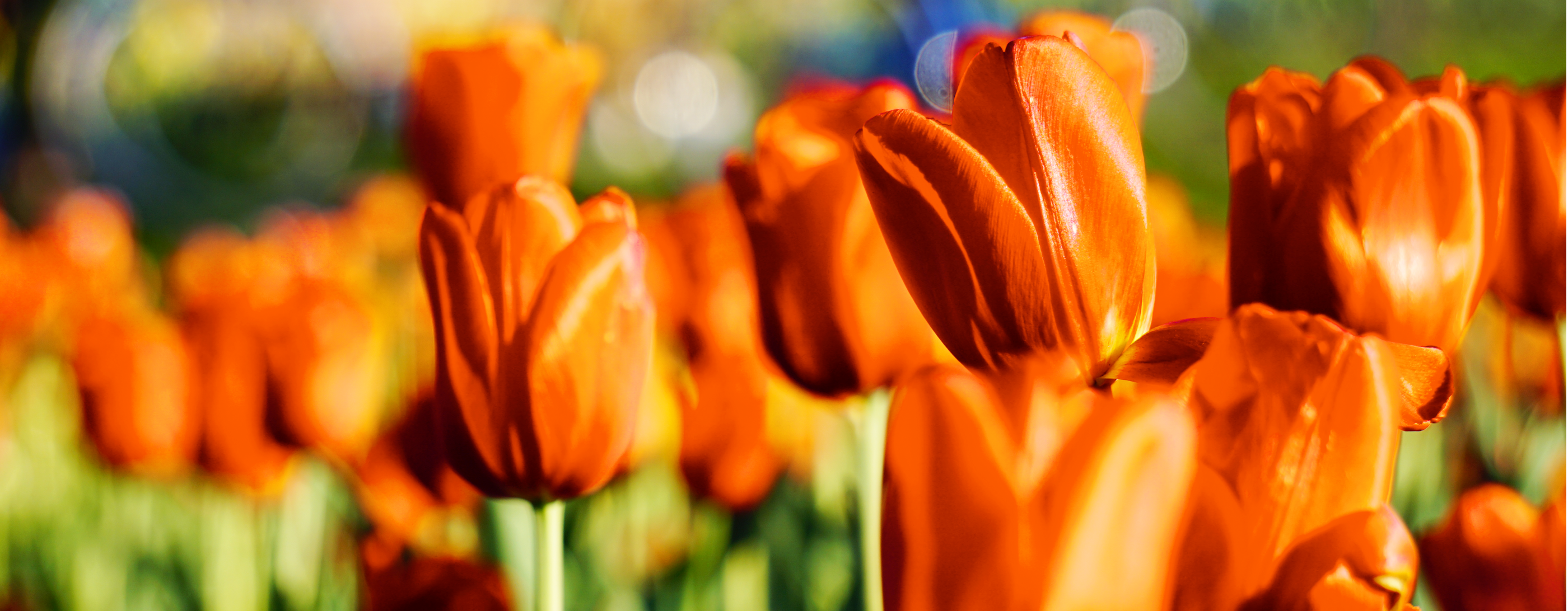Tulip Time, May 2–10, 2020 — Holland, Michigan