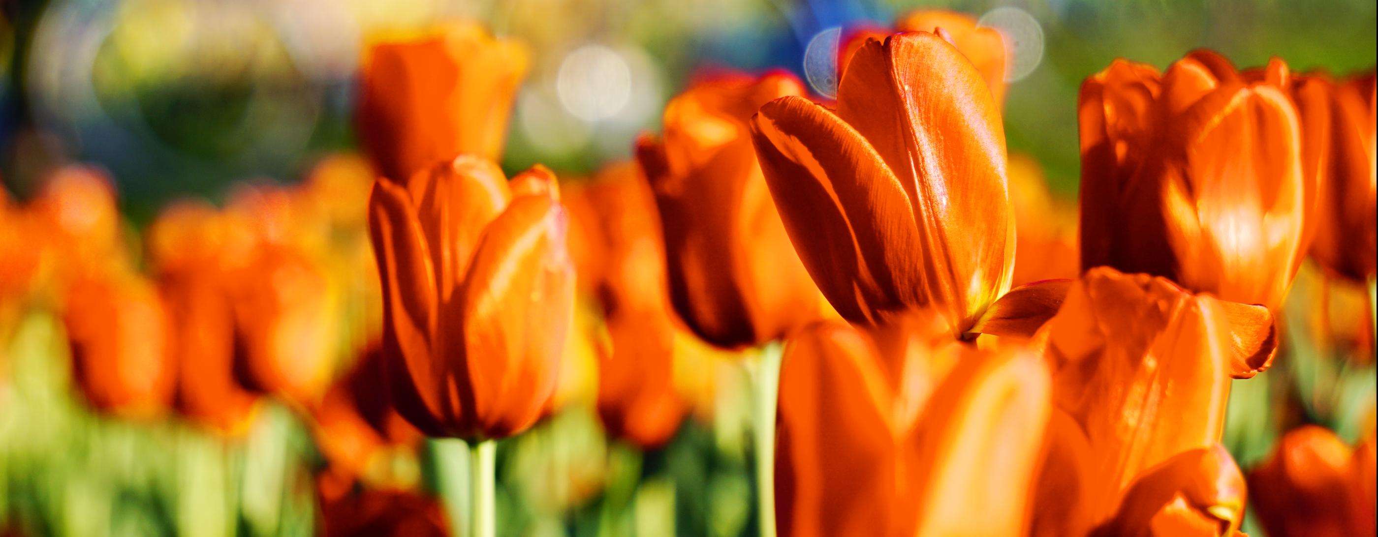 Tulip Time May 412 2019 Holland Michigan