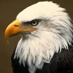 Aigle - eagle