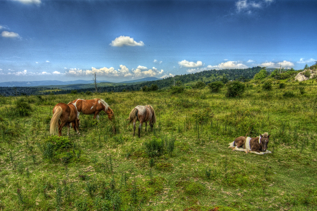 Wild ponies grazing in Grayson Highlands State Park, in a gallery of Abingdon photos