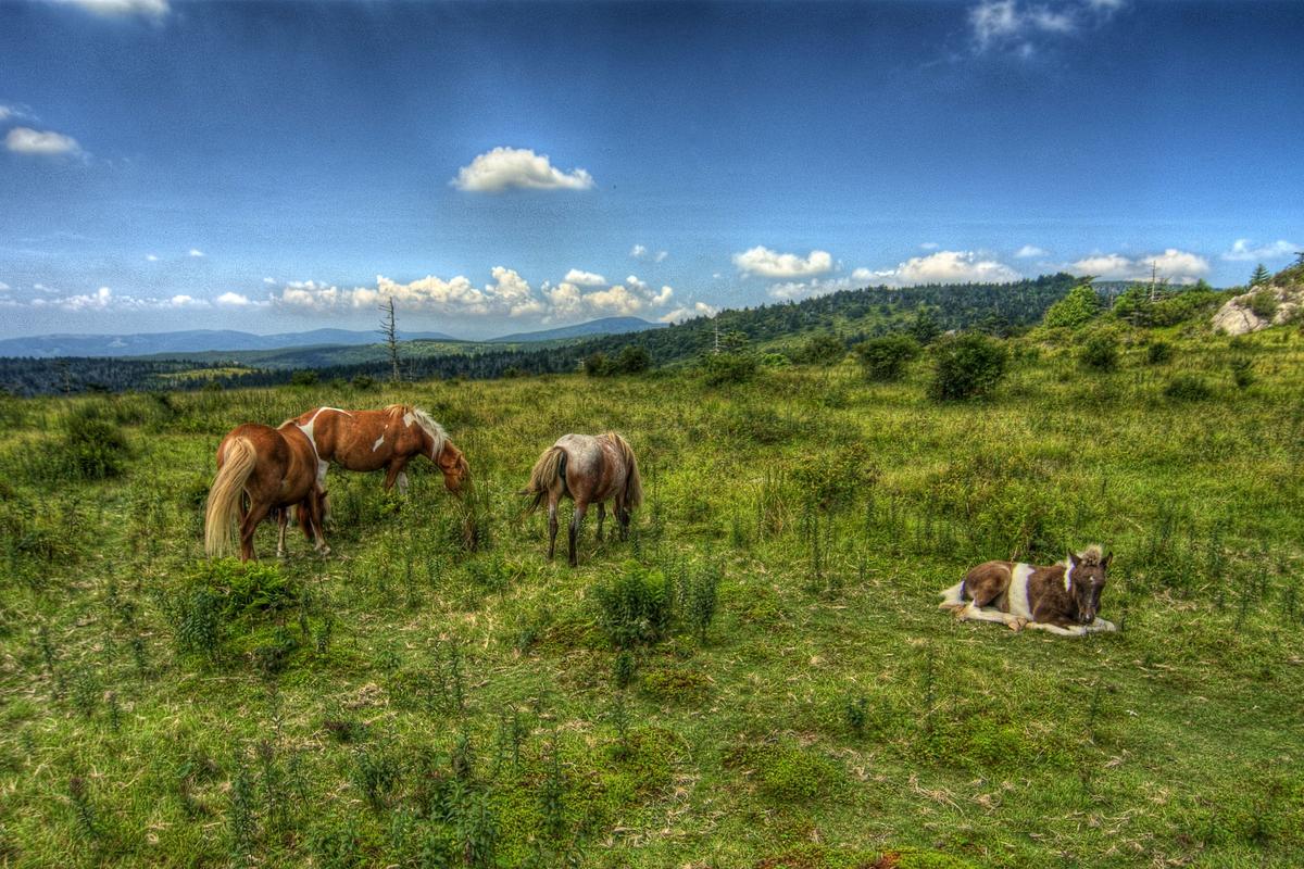 Wild ponies grazing in Grayson Highlands State Park, near Abingdon, VA