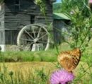 Whites Mill Butterfly
