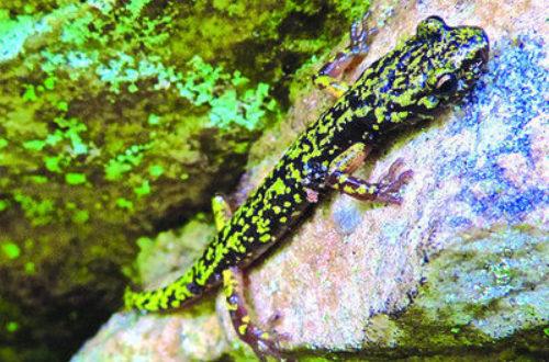 Green-Salamander