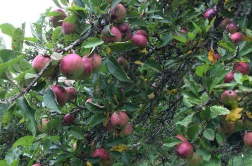Tumbling-Creek-apples-on-tree