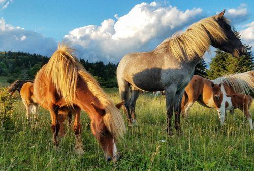 Grayson Highlands Ponies 944W