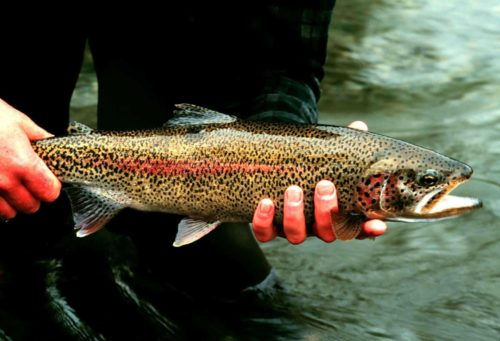Rainbow Trout Fish Onchorhynchus Mykiss Detailed Photography