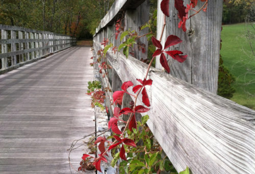 Vine-on-trestle-right-side-up