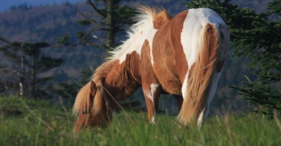 Grayson Highlands Ponies source unknown
