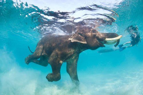 Ever seen a herd of elephants swim across the river?