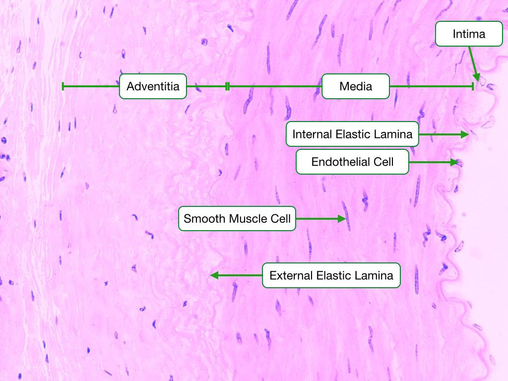 Muscular Artery Wall
