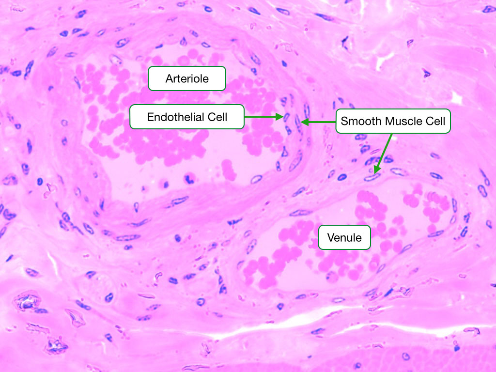 Small Artery and Venule