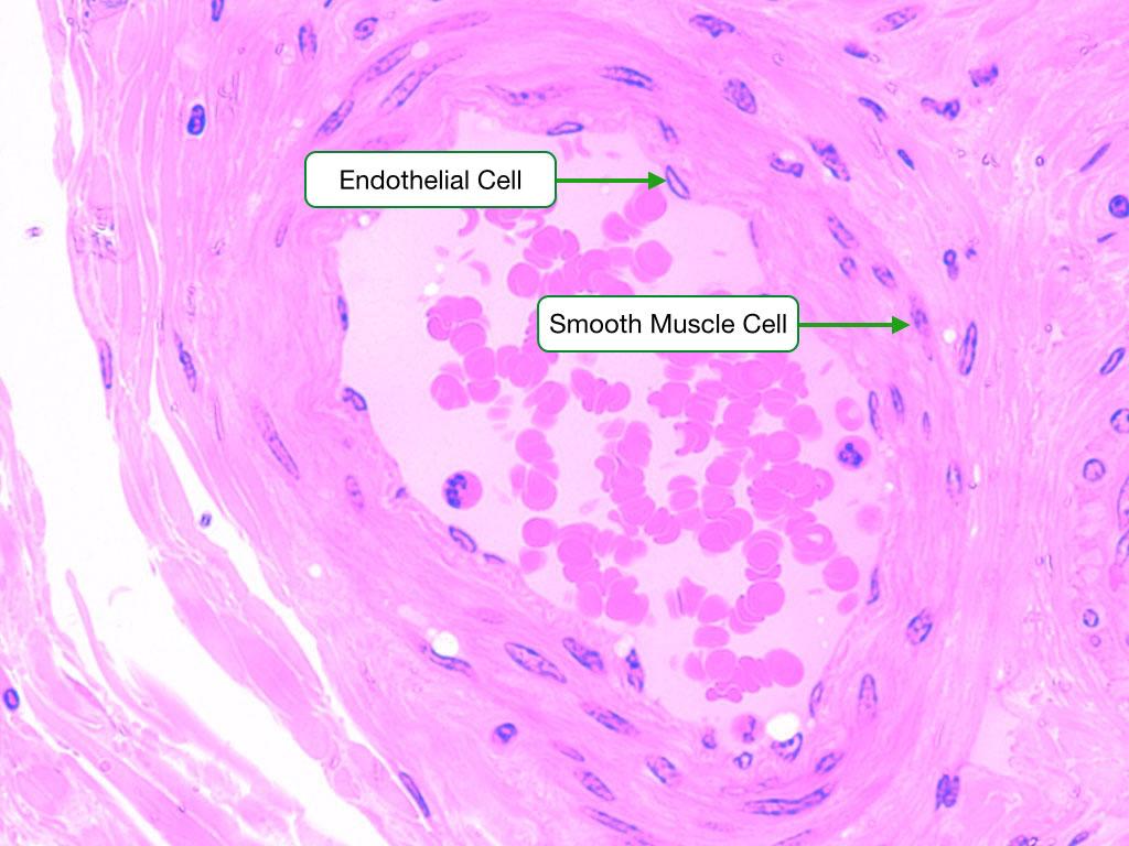 Small Muscular Artery
