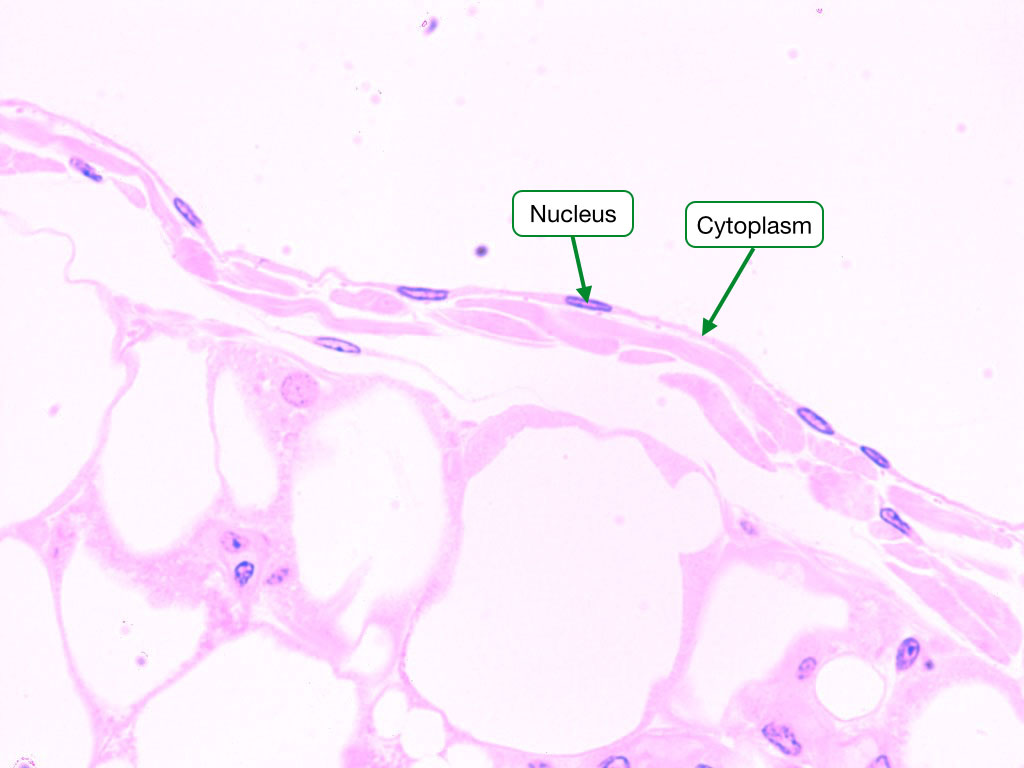 Simple Squamous Epithelia