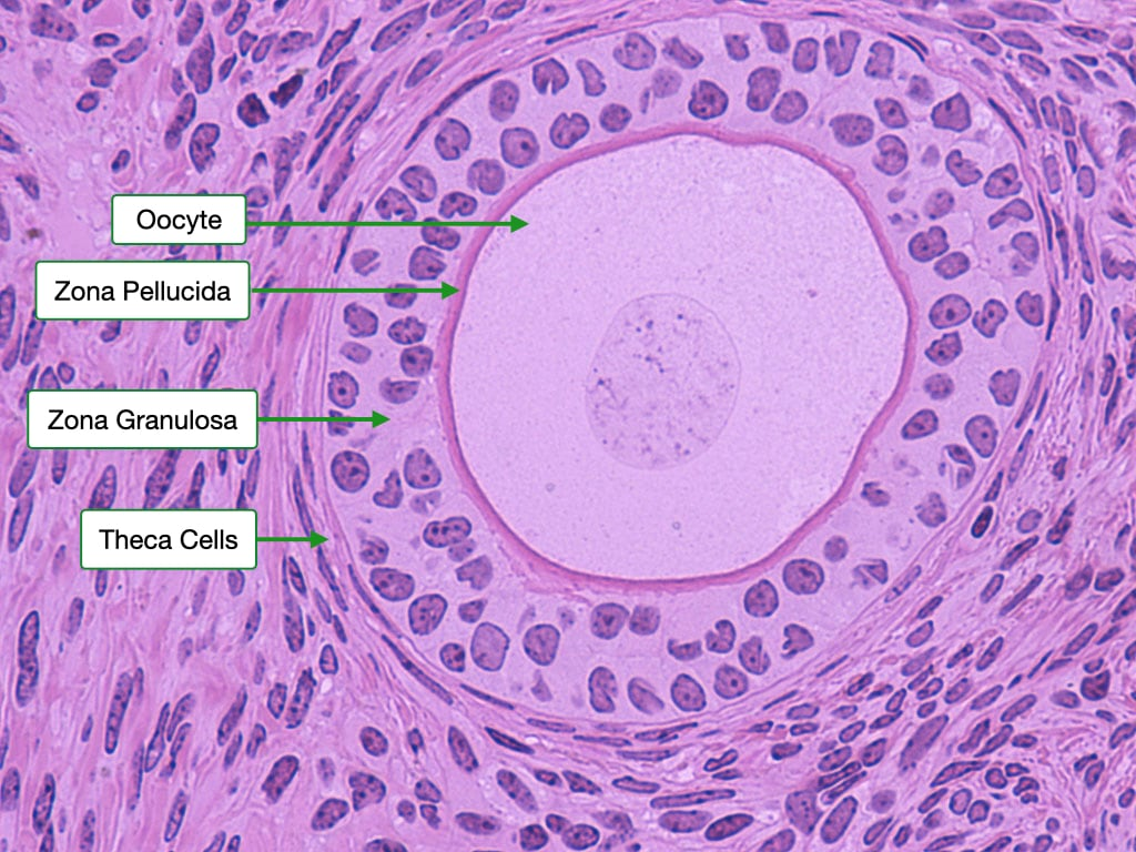 late primary follicle