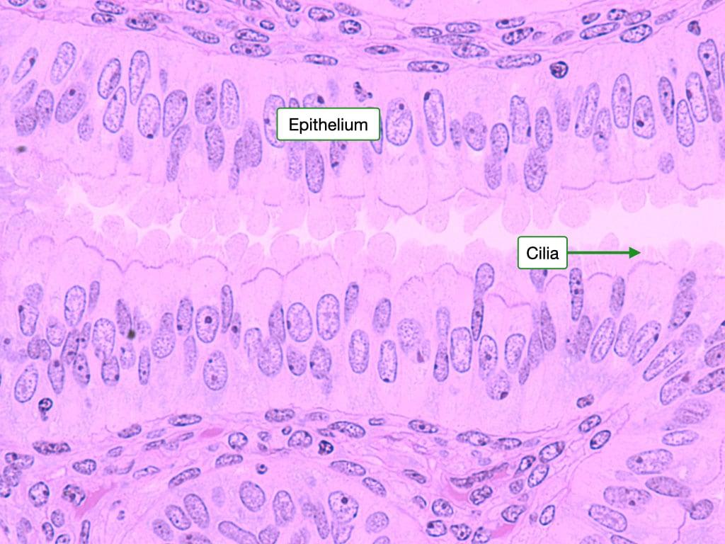 oviduct epithelium