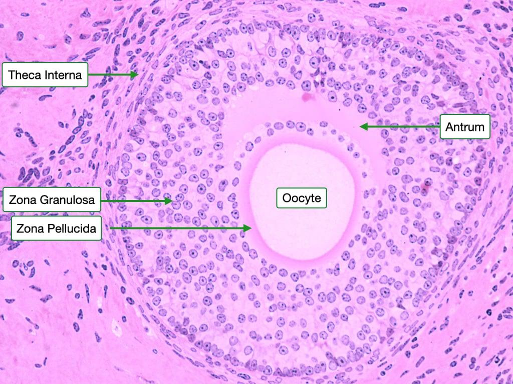 secondary follicle