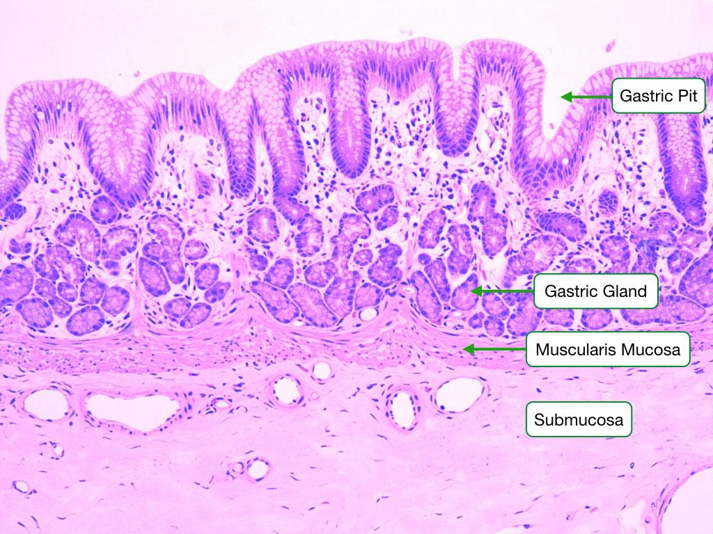 Stomach Cardia